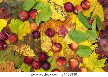 Beautiful Colorful Background With Fallen Leaves And Red-ripe Apples On The Ground.