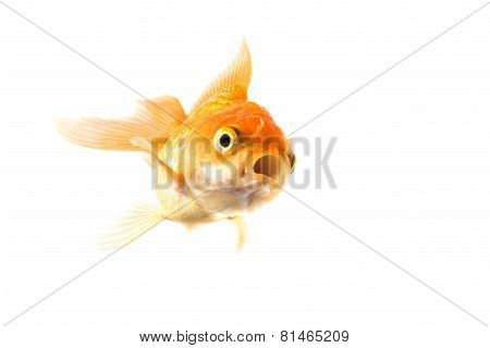 Golden Koi Fish Scared Isolated On White Background.
