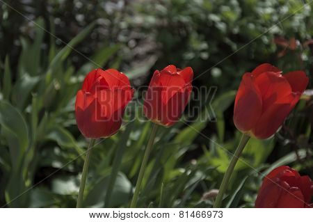 Colorful view of blossom red tulip