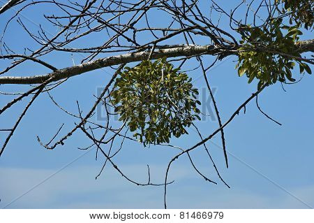 Mistletoe  or Viscum album