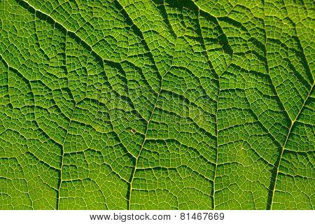 Vein Pattern On Leaf