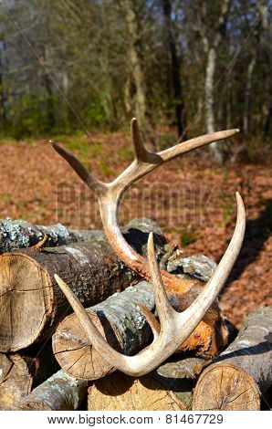 Deer Antlers resting on firewood