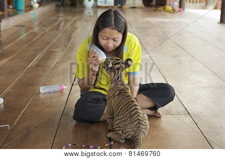 Thai woman feeds baby tiger with milk in Saiyok, Thailand.
