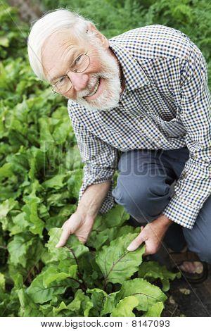 Organic Farmer Inspecting Beetroot Crop