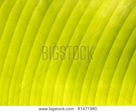 Banana's Leaf Texture, Nature Background