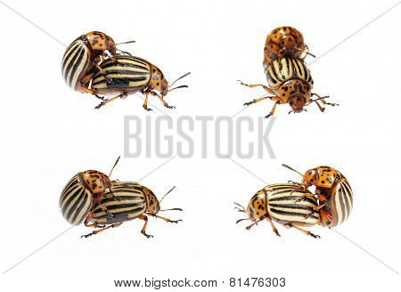 Two Conjugating Colorado Bugs