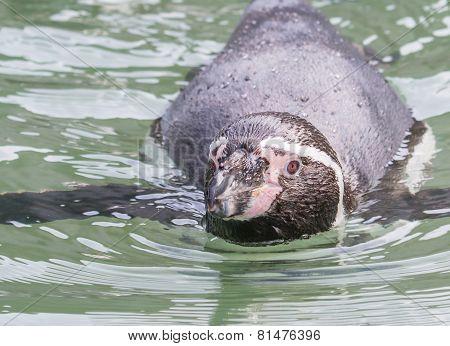 Humboldt Penguin Swimming Lt Dn