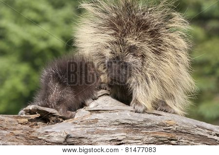 Porcupine Mom and Baby