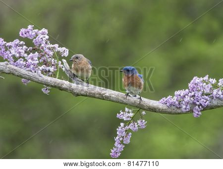 Bluebird Pair in Lilacs