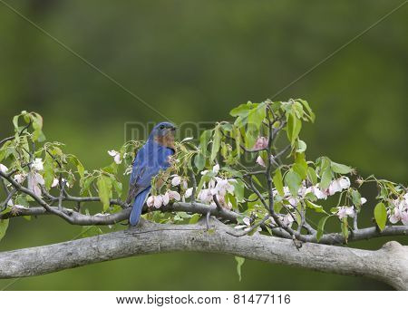 Male Eastern bluebird on Flowery Perch
