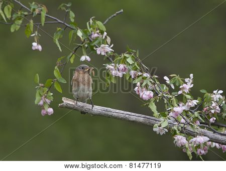 Female Bluebird in Pink Flowers