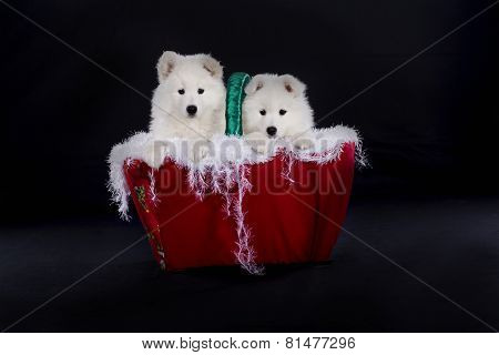 Samoyed Dog English