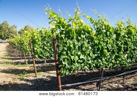 Young California Grapevines