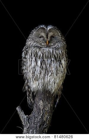 A Great Grey Owl (strix Nebulosa) Sleeping Perched On A Stump
