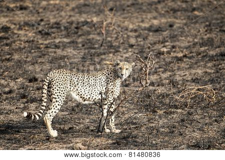 Cheetah Standing And Staring