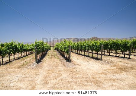 Rows Of Grapevines In California Desert