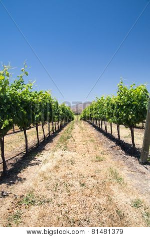 Grapevines In California Drought