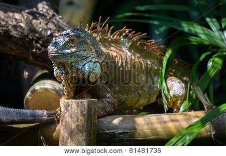 iguana (head shot) basking in the sun