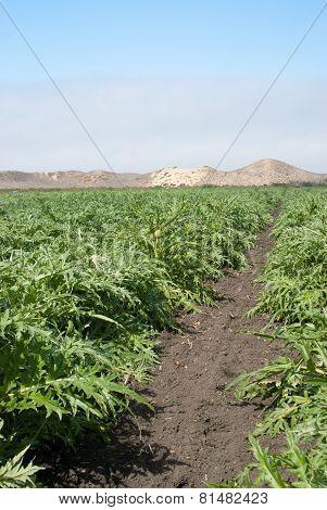Artichoke Crop In California