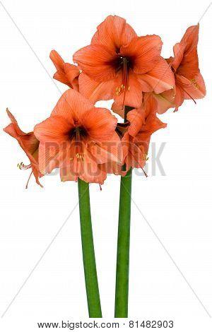 Blooming orange Amaryllis