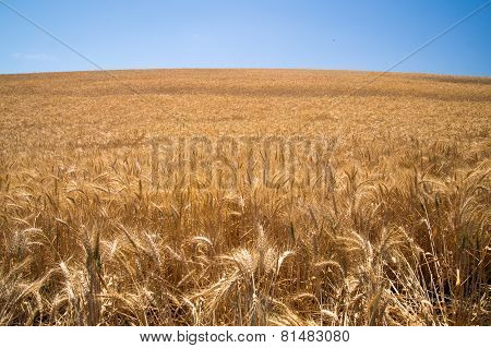 Wheat Waves In Summer Of California