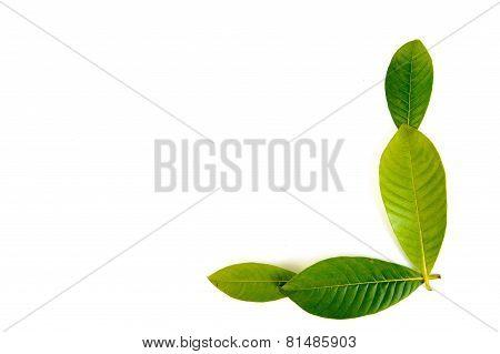 Thai Fresh Leaf Isolate On White Background Border