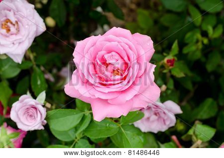 Beautiful Pink Rose Flower In The Garden