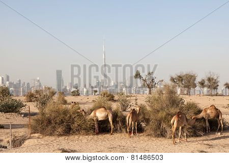 Camels In The Desert Of Dubai