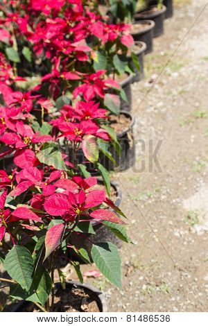 Christmas Rose Or Poinsettia Tree