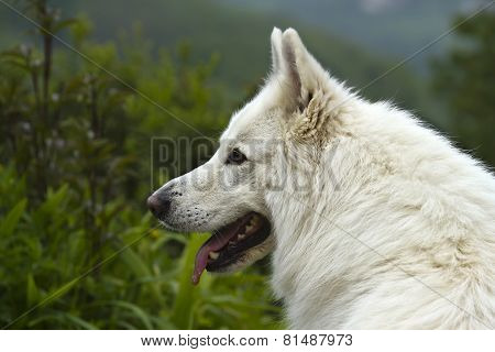 portrait of a White Swiss Shepherd
