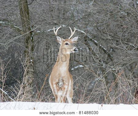 Piebald Whitetail Deer Buck