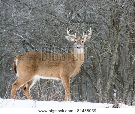 Whitetail Deer Buck