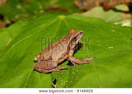 Spring Peeper (Pseudacris crucifer)