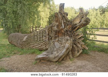 oak trunk with roots