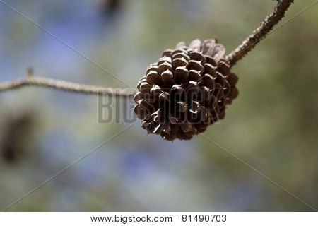 Ponderosa Pinecone Background