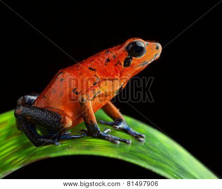 red poison arrow frog, Dendrobates pumilio from the tropical rain forest of Costa Rica kept in a rainforest terrarium as a pet animal