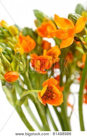 orange freesia