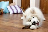 pic of firewood  - Cute Samoyed dog chewing firewood on wooden floor and fireplace on background - JPG