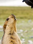picture of marmot  - Funny surprising marmot on the meadow looking into the lens  - JPG