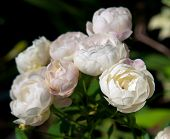 stock photo of fragrance  - Sweet beautiful miniature rose with fragrance softly - JPG