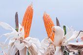 foto of corn stalk  - Sun dried corn in a field of corn - JPG