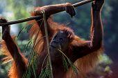 pic of orangutan  - young orangutan climbing and hanging on tree branch - JPG