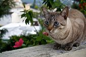 picture of blue tabby  - Grey and white tabby cat with bright blue eyes - JPG