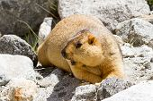 foto of marmot  - Himlayan Marmot on the rocks (Ladakh, north India)