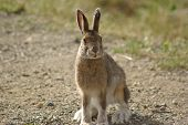 picture of wild-rabbit  - Wild jack rabbit picture taken in Central Alaska - JPG