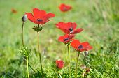 stock photo of windflowers  - Wild red anemone coronaria (windflower) flowers blooming in the Galilee Israel after the winter rains
