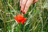 foto of fingernail  - finger with red fingernail touching a blooming poppy flower - JPG