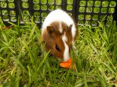 foto of baby pig  - A close-up view of a baby Guinea pig eating a carrot.
