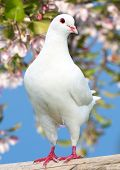 picture of pecker  - one white pigeon on flowering background - imperial pigeon - ducula