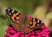 stock photo of zinnias  - close up of Painted Lady butterfly on zinnia flower - JPG